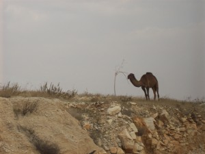Camel on hilltop just outside Jerusalem