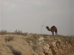 Camel on hilltop just outside Jerusalem