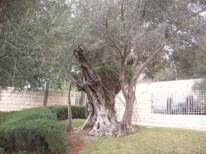 Wonderful, old olive tree transplanted to the BYU-Jerusalem Center