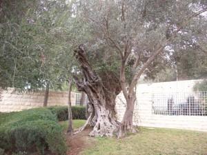 Wonderful, old olive tree transplanted to the BYU-Jerusalem Center